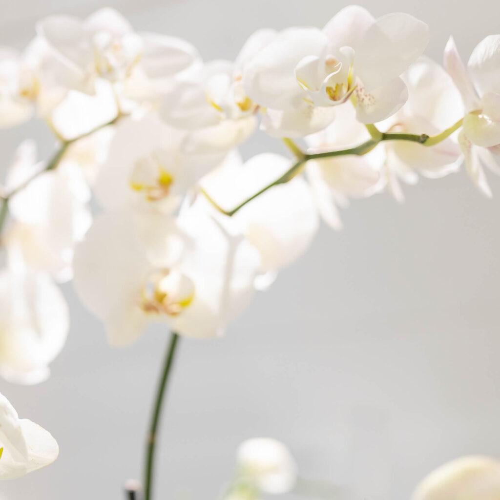 Icon Orchidee | Kirchenfeld Zahnärzte in Bern